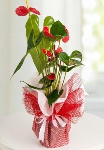 Anthurium Saksı Çiçeği  Kütahya çiçek servisi , çiçekçi adresleri