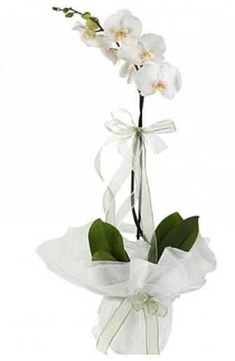 Tekli Beyaz Orkide  Kütahya çiçek servisi , çiçekçi adresleri