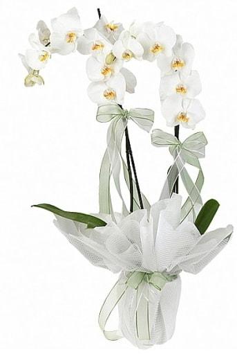 Çift Dallı Beyaz Orkide  Kütahya çiçek satışı