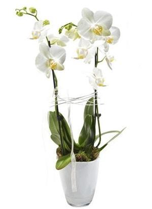 2 dallı beyaz seramik beyaz orkide saksısı  Kütahya cicek , cicekci