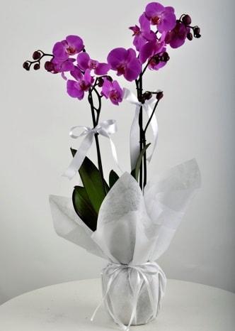 Çift dallı saksıda mor orkide çiçeği  Kütahya çiçek yolla , çiçek gönder , çiçekçi