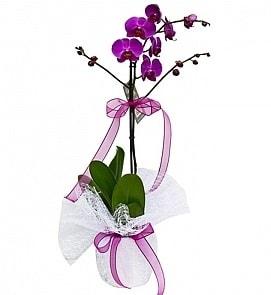 Tek dallı saksıda ithal mor orkide çiçeği  Kütahya yurtiçi ve yurtdışı çiçek siparişi