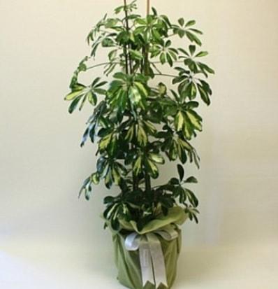 Şeflera salon bitkisi  Kütahya uluslararası çiçek gönderme