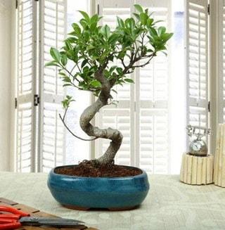 Amazing Bonsai Ficus S İthal  Kütahya online çiçekçi , çiçek siparişi