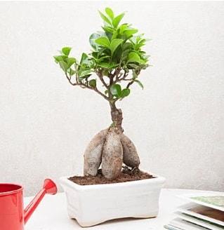 Exotic Ficus Bonsai ginseng  Kütahya hediye çiçek yolla