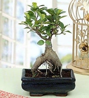 Appealing Ficus Ginseng Bonsai  Kütahya çiçek satışı