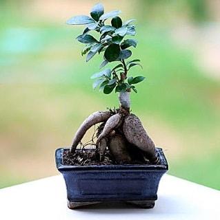 Marvellous Ficus Microcarpa ginseng bonsai  Kütahya çiçek yolla , çiçek gönder , çiçekçi