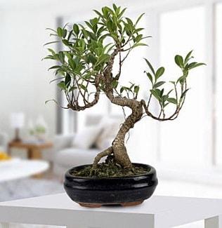 Gorgeous Ficus S shaped japon bonsai  Kütahya çiçekçiler