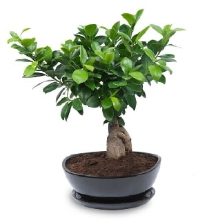 Ginseng bonsai ağacı özel ithal ürün  Kütahya güvenli kaliteli hızlı çiçek