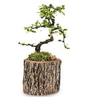 Doğal kütükte S bonsai ağacı  Kütahya anneler günü çiçek yolla