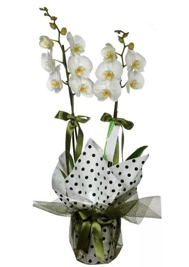 Çift Dallı Beyaz Orkide  Kütahya çiçekçi telefonları
