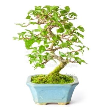 S zerkova bonsai kısa süreliğine  Kütahya online çiçek gönderme sipariş