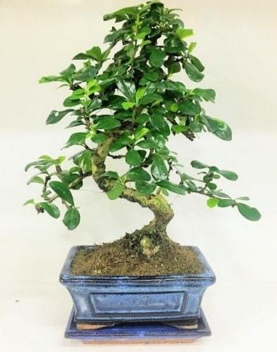 S Bonsai japon ağacı bitkisi  Kütahya çiçek gönderme