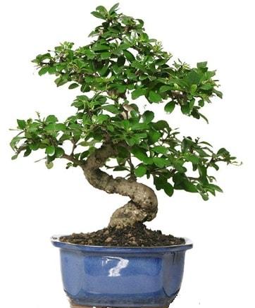 21 ile 25 cm arası özel S bonsai japon ağacı  Kütahya 14 şubat sevgililer günü çiçek