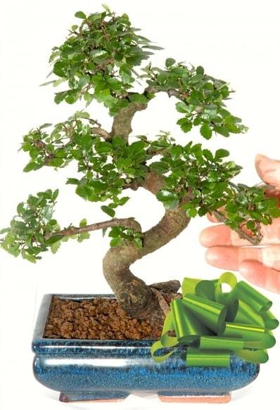 Yaklaşık 25 cm boyutlarında S bonsai  Kütahya kaliteli taze ve ucuz çiçekler