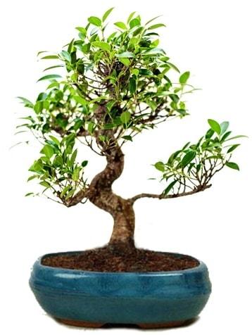 25 cm ile 30 cm aralığında Ficus S bonsai  Kütahya cicek , cicekci