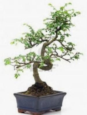 S gövde bonsai minyatür ağaç japon ağacı  Kütahya anneler günü çiçek yolla
