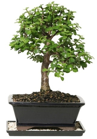 15 cm civarı Zerkova bonsai bitkisi  Kütahya kaliteli taze ve ucuz çiçekler