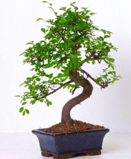 S gövdeli bonsai minyatür ağaç japon ağacı  Kütahya cicek , cicekci