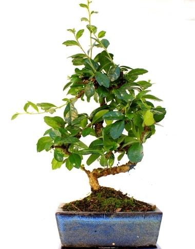 S gövdeli carmina bonsai ağacı  Kütahya cicekciler , cicek siparisi  Minyatür ağaç