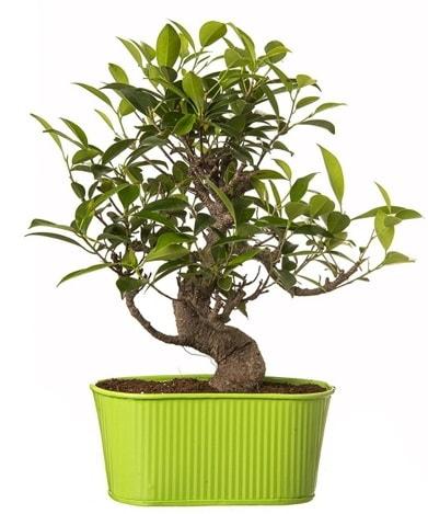 Ficus S gövdeli muhteşem bonsai  Kütahya kaliteli taze ve ucuz çiçekler