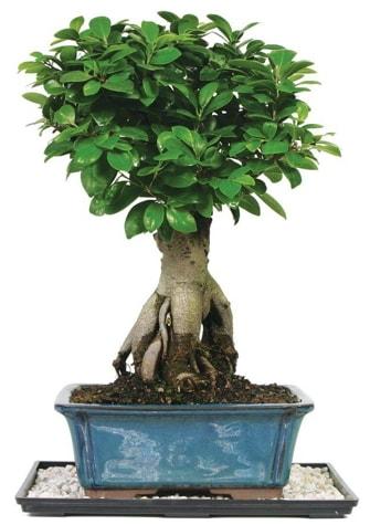 Bonsai Ginsing Grafted Ficus Bonsai  Kütahya cicekciler , cicek siparisi