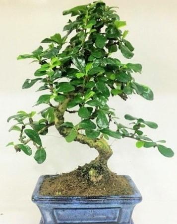 Zelkova S gövdeli Minyatür ağaç Bonzai  Kütahya uluslararası çiçek gönderme