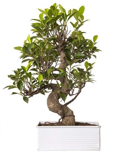Exotic Green S Gövde 6 Year Ficus Bonsai  Kütahya cicek , cicekci