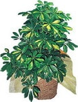 Kütahya online çiçekçi , çiçek siparişi  Schefflera gold